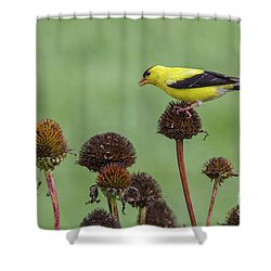Goldfinch And Coneflowers Shower Curtain