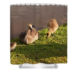 Goslings Basking In The Sunset Shower Curtain by Chris Flees