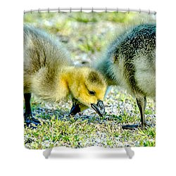 Shower Curtain featuring the photograph Goslings Snacking by Steven Santamour