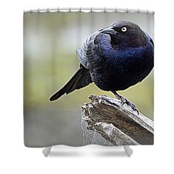 Grackle Resting Shower Curtain by AJ Schibig
