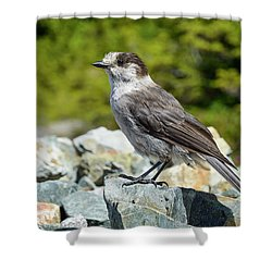 Gray Jay, Canada's National Bird Shower Curtain by Kathy King