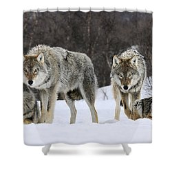 Shower Curtain featuring the photograph Gray Wolves Norway by Jasper Doest