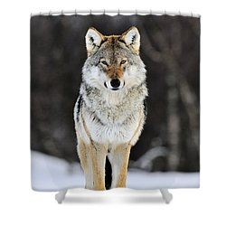 Shower Curtain featuring the photograph Gray Wolf In The Snow by Jasper Doest
