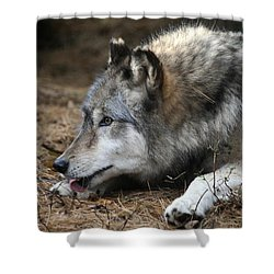 Gray Wolf Shower Curtain by Karol Livote