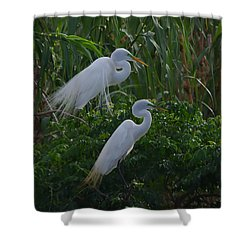 Great Egret Displays Windy Mating Plumage 2 Shower Curtain