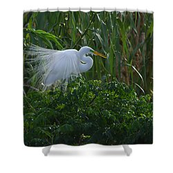 Great Egret Displays Windy Plumage Shower Curtain