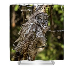 Great Grey Owl In Windy Spring Shower Curtain