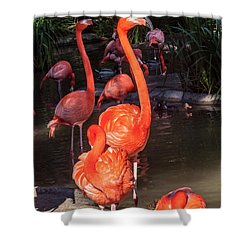 Greater Flamingo Shower Curtain by Daniel Hebard