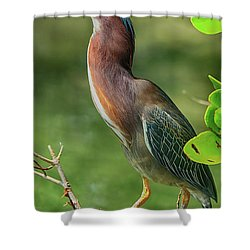 Shower Curtain featuring the photograph Green Heron Pose by Deborah Benoit
