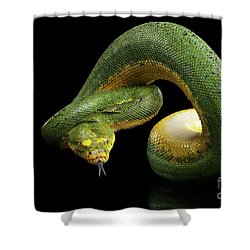 Green Tree Python. Morelia Viridis. Isolated Black Background Shower Curtain