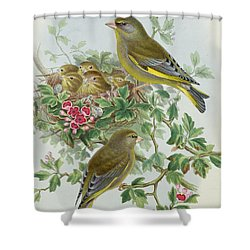 Greenfinch Shower Curtain by John Gould
