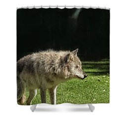 Grey Wolfe In Close Up Shower Curtain by Patricia Hofmeester