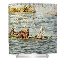 Shower Curtain featuring the photograph Grinning Nutria On Reeds by Robert Frederick