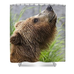 Grizzly Bear Sniffing Air While Fishing Shower Curtain by Lucas Payne