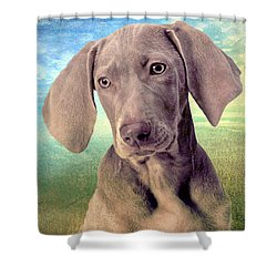 Gunshy Weimaraner Looking For Loving Home Shower Curtain