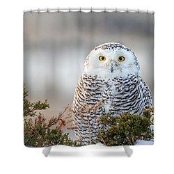 Hampton Beach Nh Snowy Owl Shower Curtain