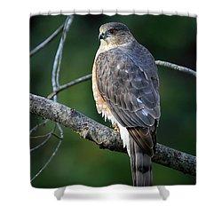 Handsome Sharp Shinned Hawk Shower Curtain
