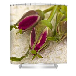 Hansa Rose Buds Shower Curtain by Sandra Foster