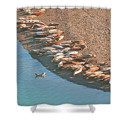 Harbor Seal Conductor Shower Curtain