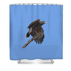 Harris Hawk - Transparent Shower Curtain by Nikolyn McDonald