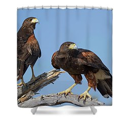 Harris Hawks Shower Curtain by Elvira Butler