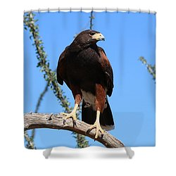 Shower Curtain featuring the photograph Harris's Hawk Perched - 5 by Christy Pooschke
