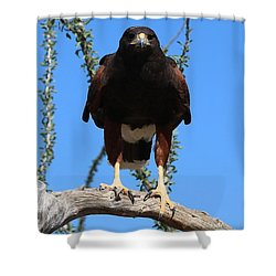 Shower Curtain featuring the photograph Harris's Hawk Perched  by Christy Pooschke