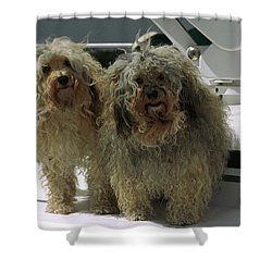 Havanese Dogs Shower Curtain by Sally Weigand
