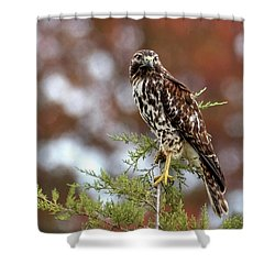 Red Shoulder Hawk Looking At Me Shower Curtain
