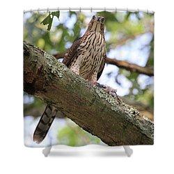 Hawk On A Branch Shower Curtain