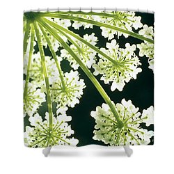Himalayan Hogweed Cowparsnip Shower Curtain by American School