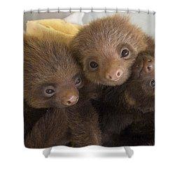 Hoffmanns Two-toed Sloth Choloepus Shower Curtain by Suzi Eszterhas
