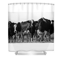 Curious Holsteins Shower Curtain