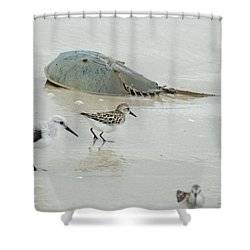 Shower Curtain featuring the photograph Horseshoe Crab With Migrating Shorebirds by Richard Bryce and Family