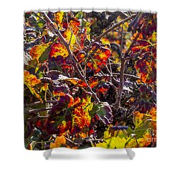 Hot Autumn Colors In The Vineyard 03 Shower Curtain by Arik Baltinester
