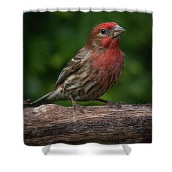 House Finch Shower Curtain