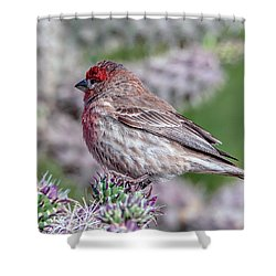 House Finch Male Shower Curtain