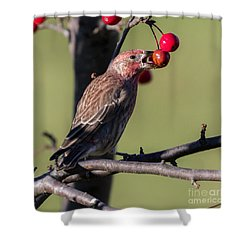 House Finch Vs Crabapple  Shower Curtain