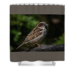 House Sparrow 2 Shower Curtain by Kenneth Cole
