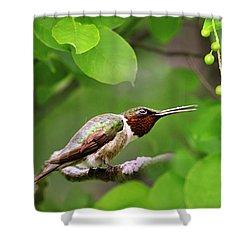 Hummingbird Hiding In Tree Shower Curtain by Christina Rollo