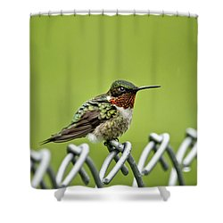 Hummingbird On A Fence Shower Curtain by Christina Rollo