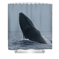 Humpback Whale Breaching Shower Curtain by Gary Crockett