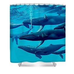 Humpback Whale Group Shower Curtain by Corey Ford