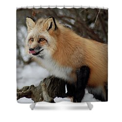 Shower Curtain featuring the photograph Hungry Fox by Richard Bryce and Family