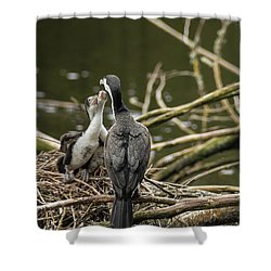 Hungry Pied Shag Chicks Shower Curtain by Racheal Christian