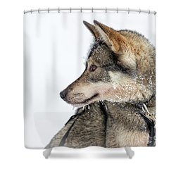 Shower Curtain featuring the photograph Husky Dog by Delphimages Photo Creations