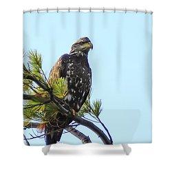 Immature Bald Eagle 1 Shower Curtain