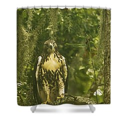 Immature Red-tail Hawk Shower Curtain by Phill Doherty