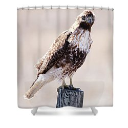 Immature Red Tailed Hawk Shower Curtain