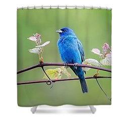 Indigo Bunting Perched Shower Curtain